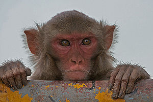 Rhesus macaque - Rhesus macaque in Kinnerasani Wildlife Sanctuary, Andhra Pradesh, India