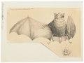 Rhinolophus nippon - 1700-1880 - Print - Iconographia Zoologica - Special Collections University of Amsterdam - UBA01 IZ20700145.tif