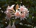 Rhododendron Raphael De Smet C.jpg