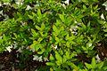 Rhododendron quinquefolium (3982854493).jpg