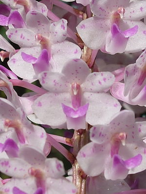 Rhynchostylis retusa - Close-up of the individual flowers forming the inflorescence of Rhynchostylis retusa