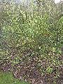 Ribes sanguineum 'Prush Album' (Saxifragaceae) plant.jpg