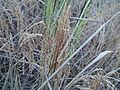 Rice Crop..JPG