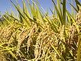 Rice Plants (IRRI).jpg