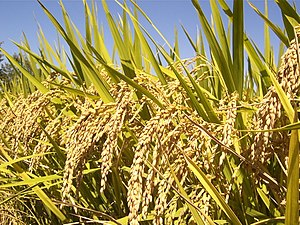 Oryza sativa - Image: Rice Plants (IRRI)