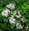 Ricketts Glen State Park Mountain Laurel Blooming.jpg