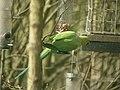 Ring-necked Parakeet (Psitacula krameri) - geograph.org.uk - 1036155.jpg