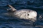Risso's dolphin.jpg