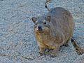 Rock Hyrax (Procavia capensis) (6896133278).jpg