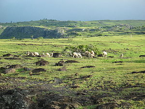 Rodrigues - A treeless landscape from 2004. Some goats are grazing.