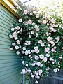 Rosa 'Albertine', climbing over a fence and up to the top of a garage.jpg