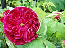 gallica rose charles de mills ante 1790 - Garden Rose