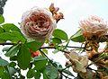 Rosa 'Leander' Mainau - 1.jpg