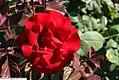 Rosa Americas Choice 1zz.jpg