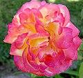 Rosa matizada (227638527).jpg