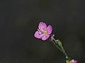 Rose Evening Primrose Flower ユウゲショウ (216794625).jpeg