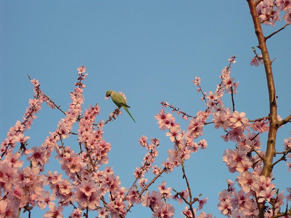 Rose ringed Parakeet in bitter Almond