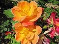 Roses jaunes et rouges.jpg