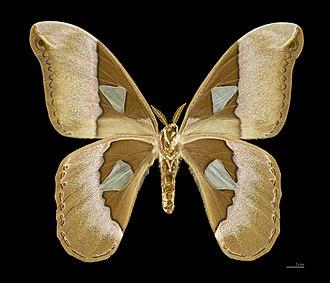 Rothschildia - Image: Rothschildia aurota speculifera MHNT female ventre