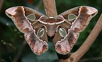 Rothschildia - Image: Rothschildia cincta