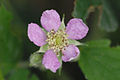 Rubus.fruticosus5.-.lindsey.jpg