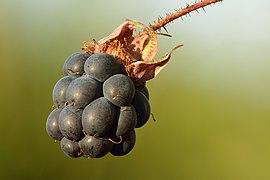Rubus caesius fruit - Keila.jpg