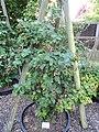 Rubus vigorosus - Botanischer Garten, Frankfurt am Main - DSC02455.JPG