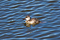 Ruddy Duck (23460999112).jpg