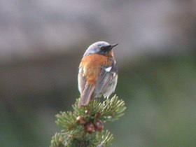 Rufous-backed Redstart.jpg