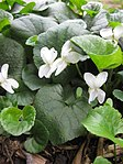 Ruhland, Grenzstr. 3, Duftveilchen im Garten, weiß blühend, Frühling, 01.jpg