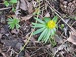 Ruhland, Grenzstr. 3, Winterling im Garten, Blüte verblüht, Frühling, 02.jpg