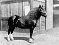 Russian Ardennes stallion at the Exposition Universelle, Paris, 1900.jpg