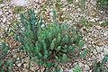 Sóller - Coll de Sóller - Euphorbia pithyusa 02 ies.jpg