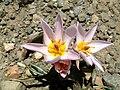 Sabine Beckmann Tulipa Cretica above Katharo plain 5 03.jpg