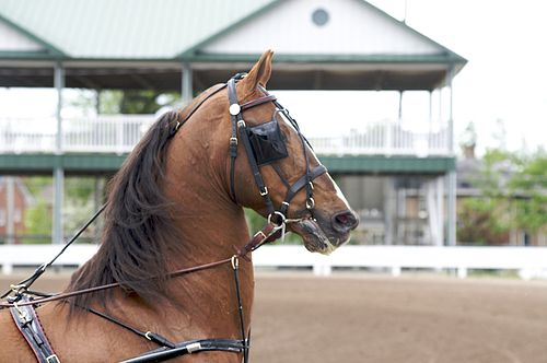 http://upload.wikimedia.org/wikipedia/commons/thumb/1/19/Saddlebred_Stallion_in_Harness.jpg/500px-Saddlebred_Stallion_in_Harness.jpg
