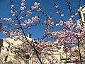 Saint Petersburg. Chinese Garden. Sakura tree2014 05.jpg