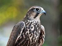 Saker Falcon RWD1.jpg