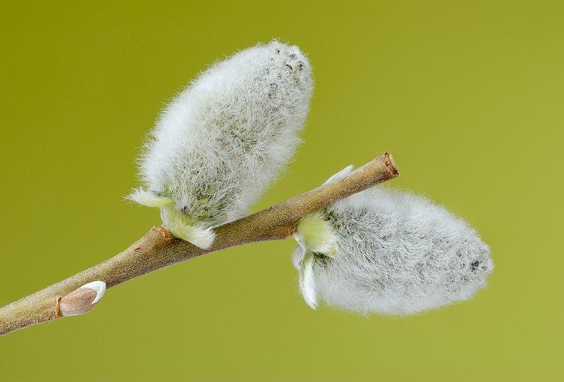 File:Salix caprea 02.jpg