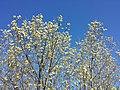 Salix caprea sl19.jpg