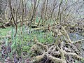 Salix cinerea kz14.jpg