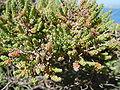 Salsola vermiculata.jpg