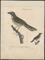 Saltator maximus - 1825-1834 - Print - Iconographia Zoologica - Special Collections University of Amsterdam - UBA01 IZ15900391.tif