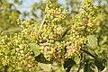 Salvadora persica by Dr. Raju Kasambe DSCN6600 (3).jpg