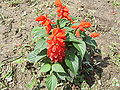Salvia splendens-changbai.JPG