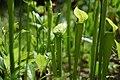 Sarracenia jonesii FWS (26611756954).jpg