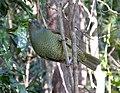 Satin Bowerbird. Female. Ptilinorhynchus violaceus (15184506623).jpg