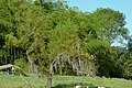 Sauce llorón (Salix babilonica) (14693743952).jpg