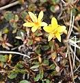 Saxifraga hirculus IMG 3998 myrsildre longyearbyen.JPG