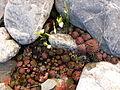 Saxifragales.2071.JPG