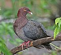 Scaly-naped Pigeon.jpg